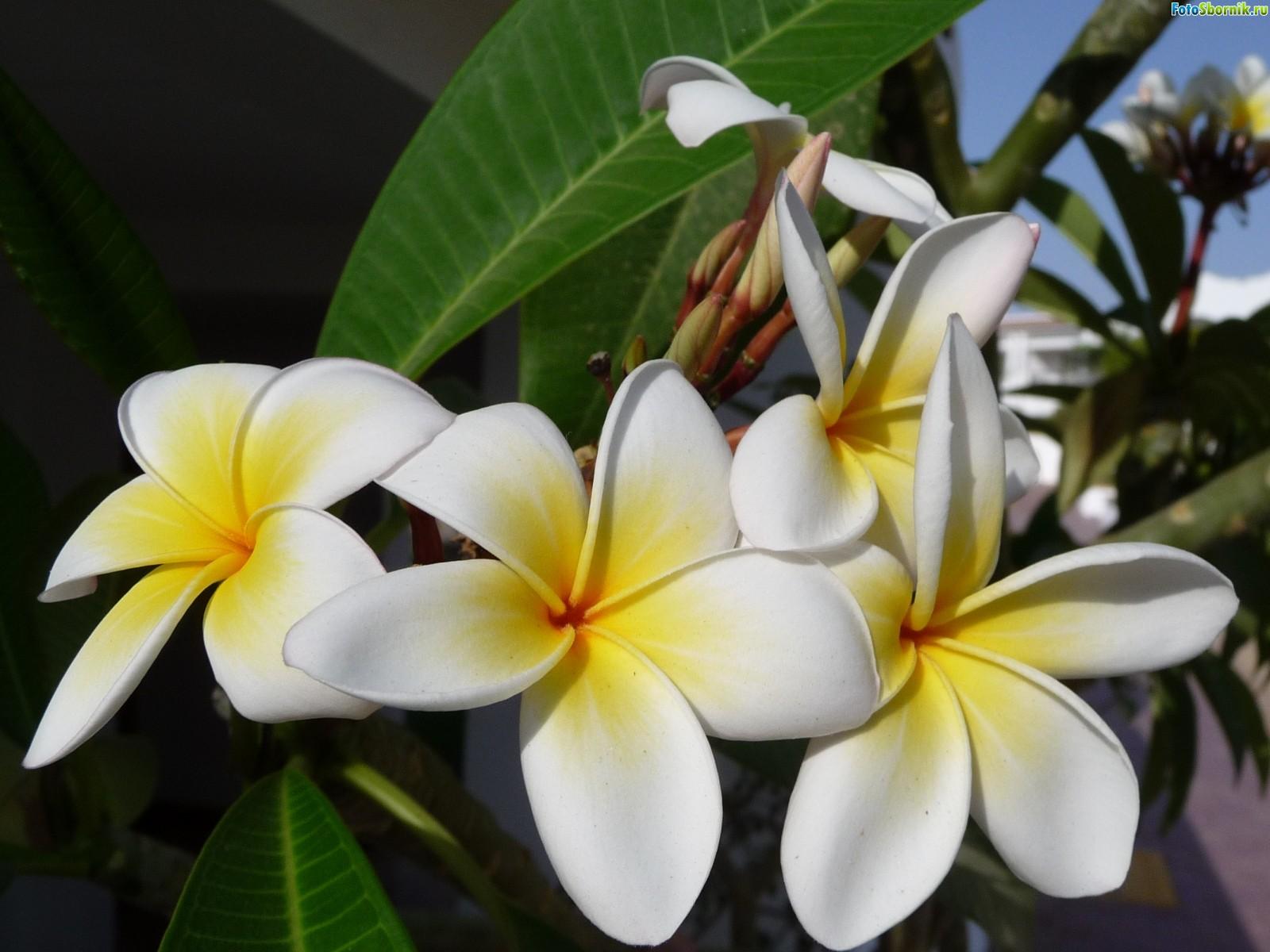 как выглядит цветок фикус фото