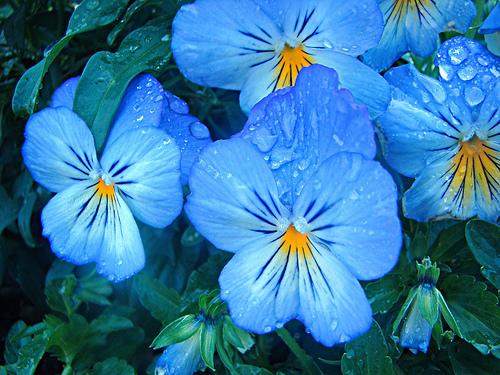 """Цветок анютины глазки фото """" DreemPics.com - картинки и рисунки на рабочий стол бесплатно"""