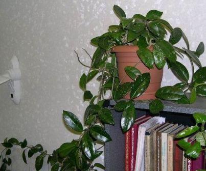 Цветок мужегон название и фото