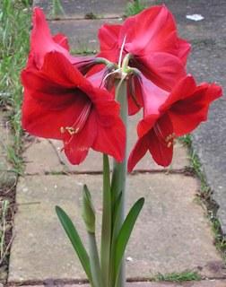 луковичные комнатные цветы каталог фото и названия
