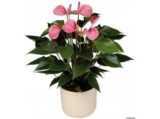 Большой комнатный цветок виды