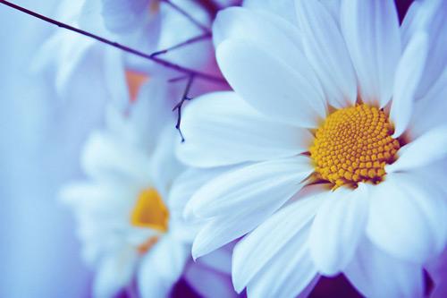 Красивые цветы картинки ромашки