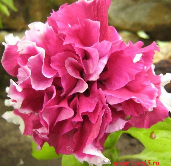 Красивые однолетние цветы фото dreempics