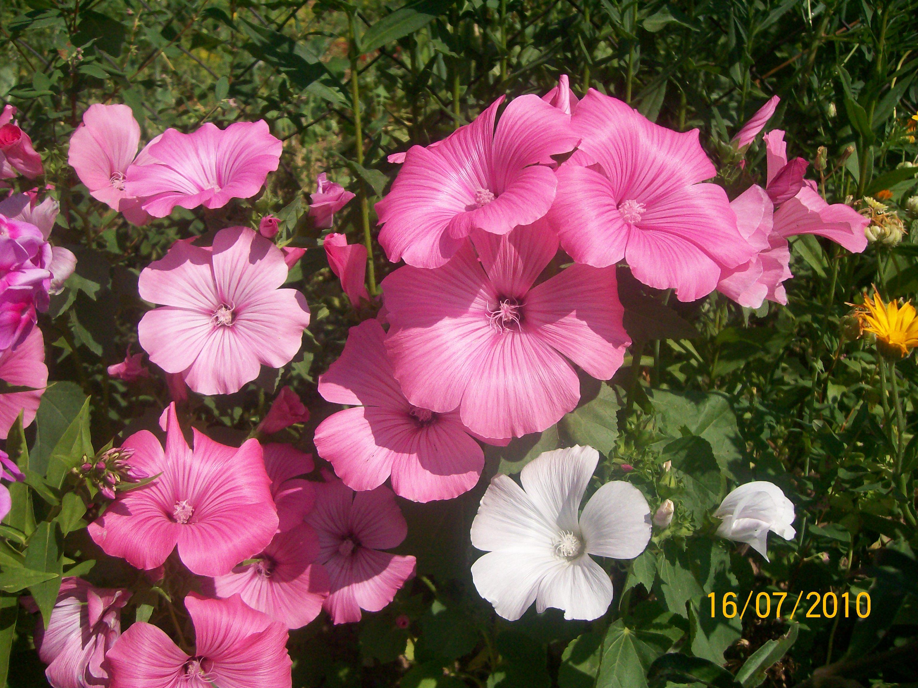 цветок садовый