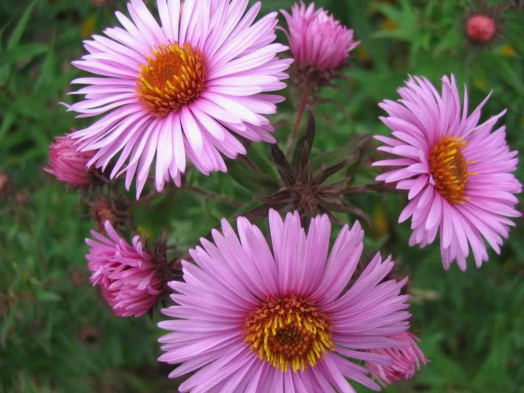 названия многолетних цветов с