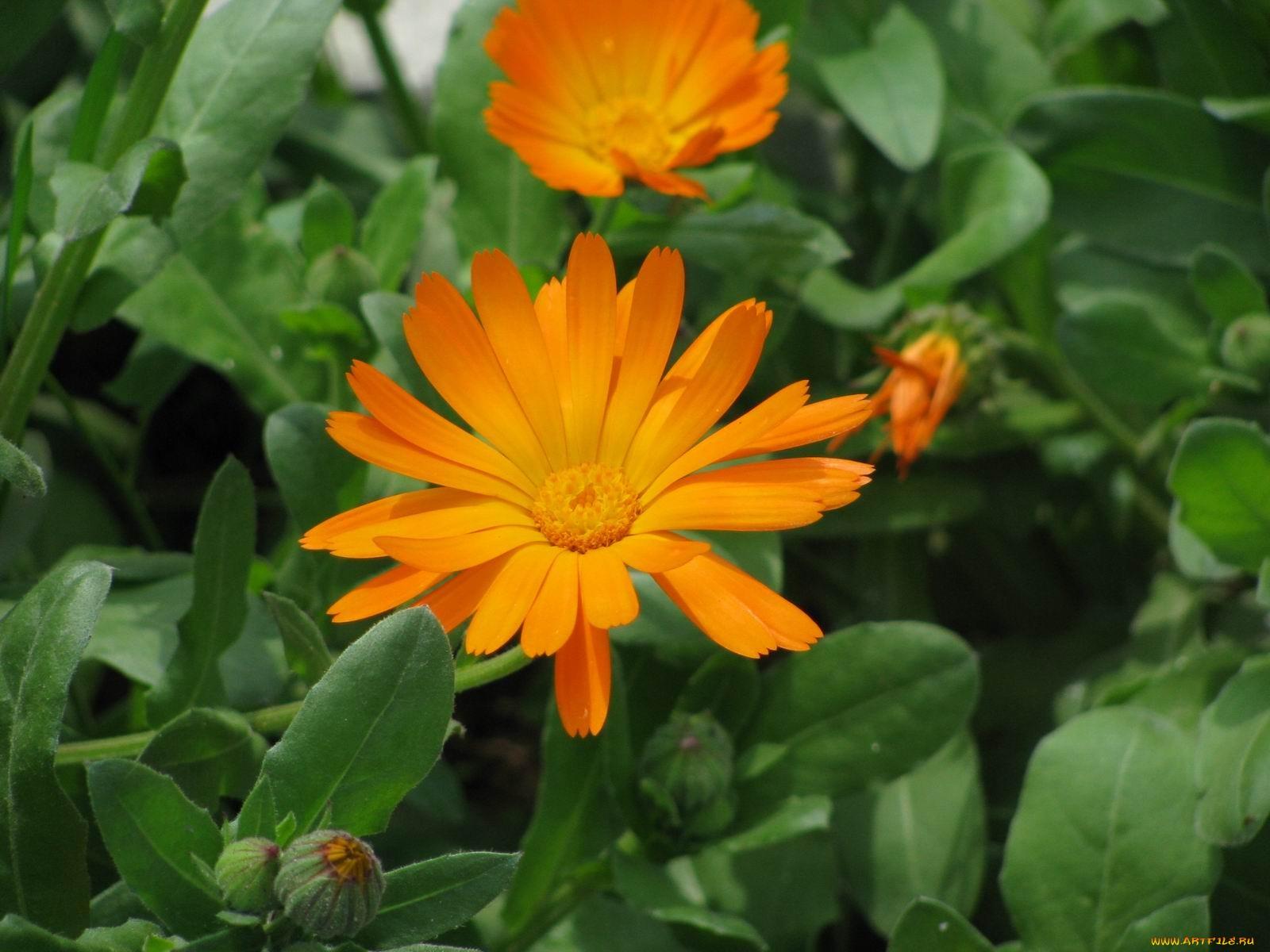 Цветы календула фото с названиями
