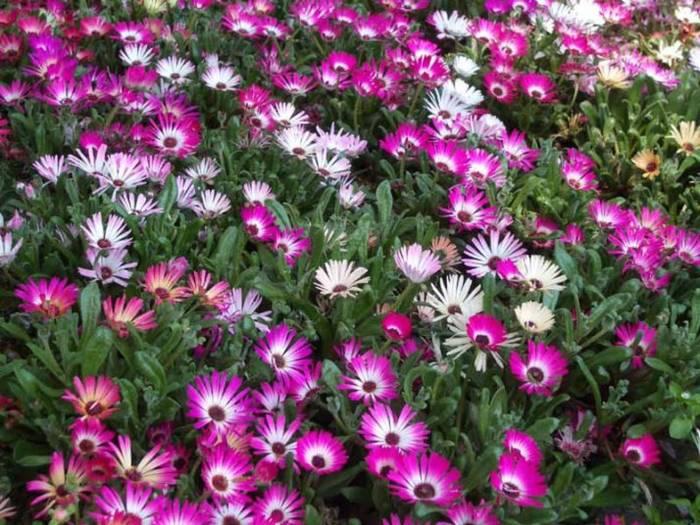 цветы однолетники фото: