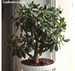 Цветок называемый денежное дерево