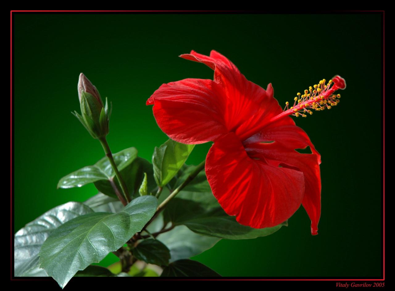 Китайская роза цветов