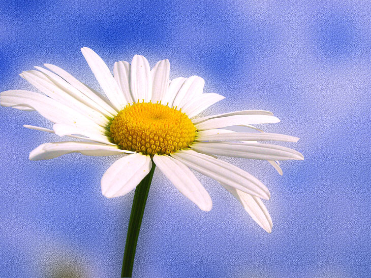 Картинка цветок ромашка » DreemPics.com - картинки и ...