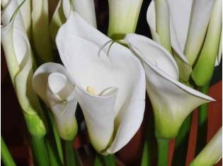 Калла цветок фотографии