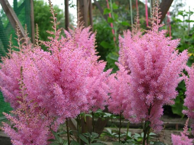садовых цветов