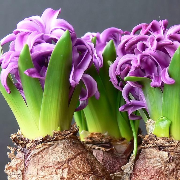 Все комнатные луковичные цветы фото