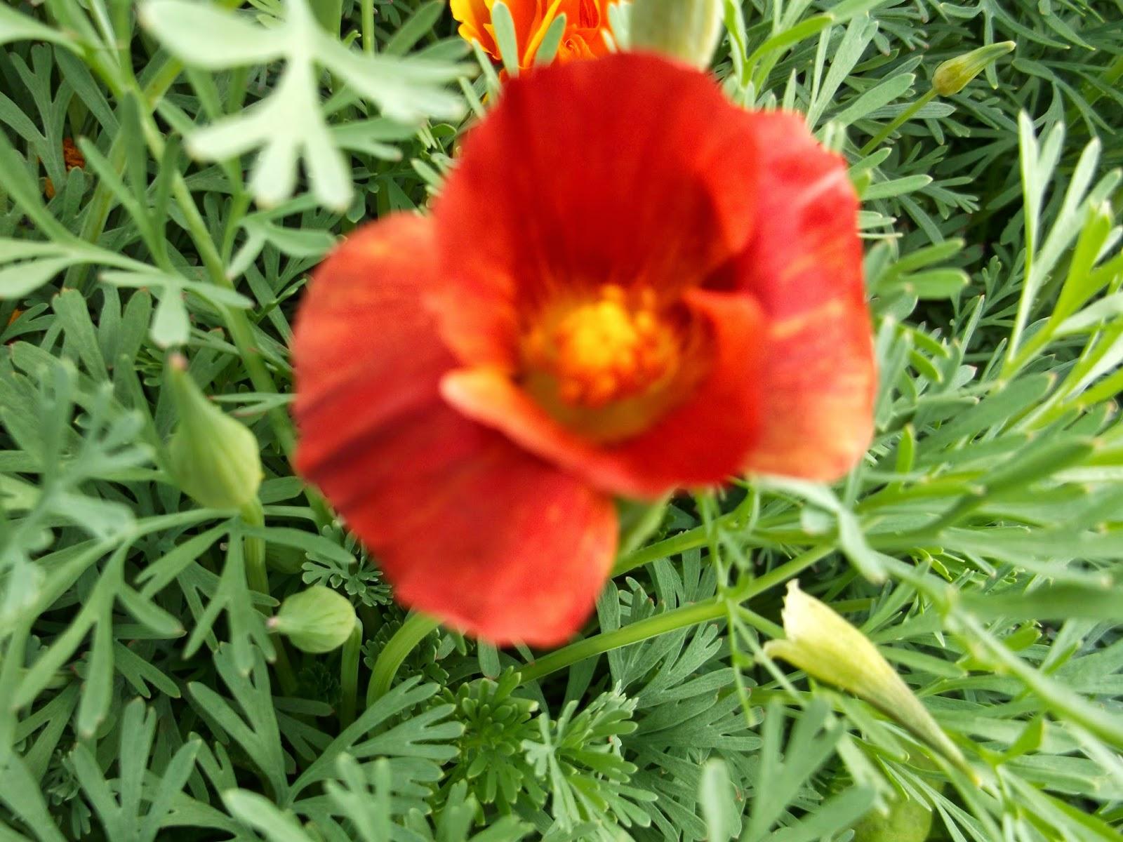 Эшшольция фото цветов рассада
