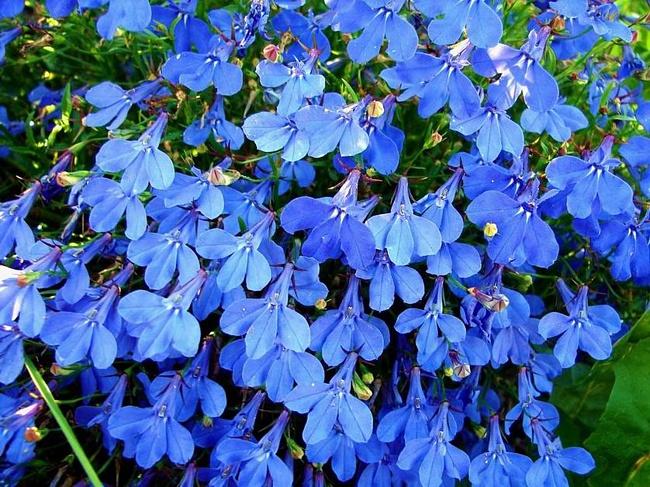 садовые цветы  и названия