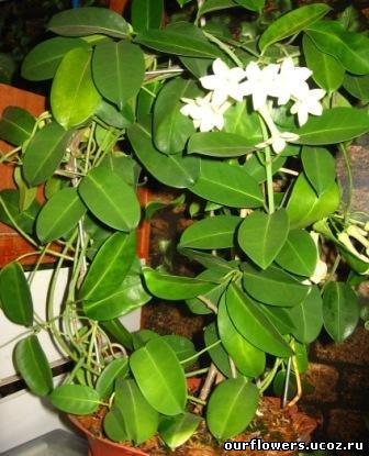 плетущиеся домашние растения фото и названия