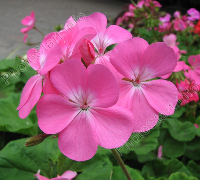 Цветы с розовыми цветами