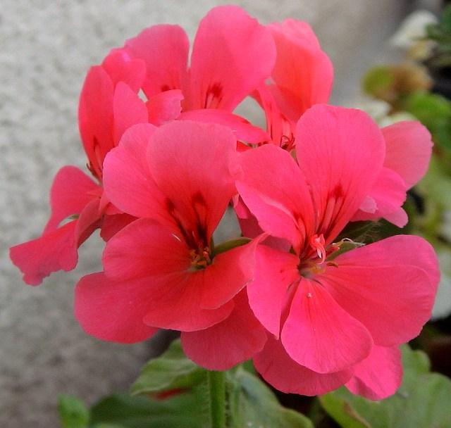 Что за цветок пеларгония