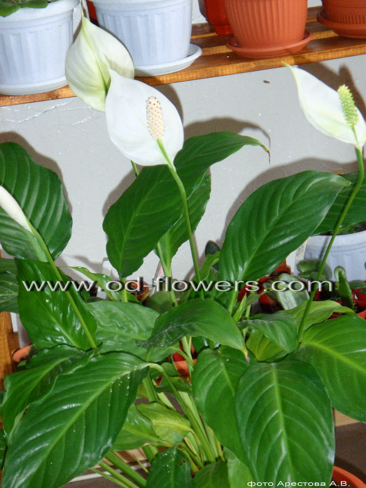 цветы домашние комнатные каталог
