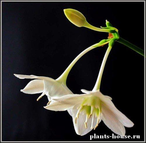 Фото всех комнатных луковичных цветов