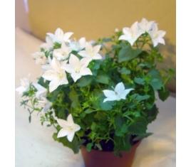 Комнатный цветок жених невеста 35