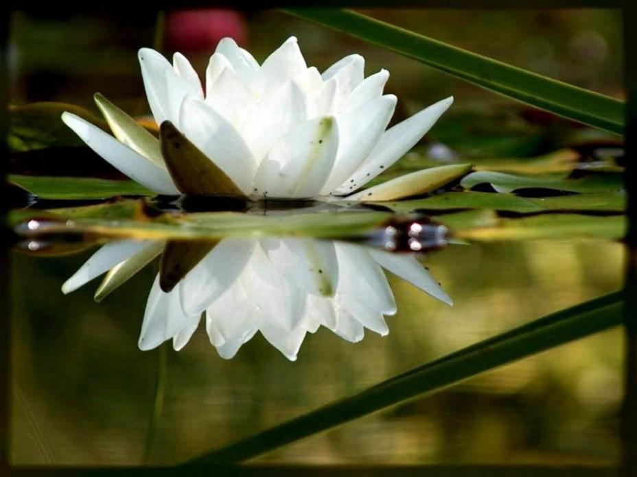 Картинки цветы бутоны лотоса водоем на рабочий стол  Цветы