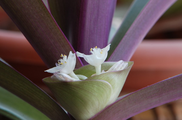 Лодка моисея цветок фото