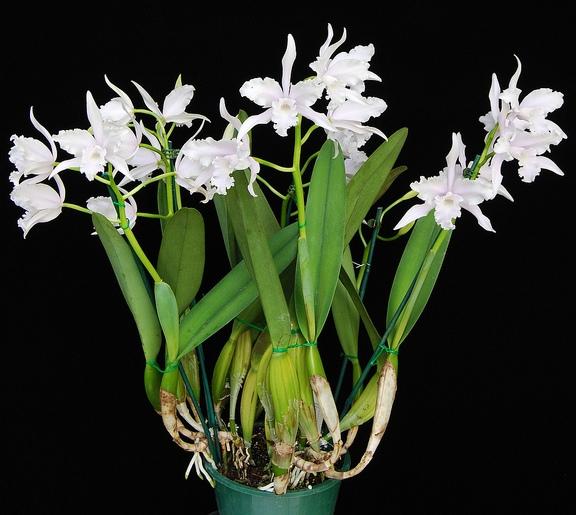 Цветок листья похожи на орхидею