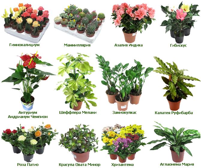 виды луковичных цветов