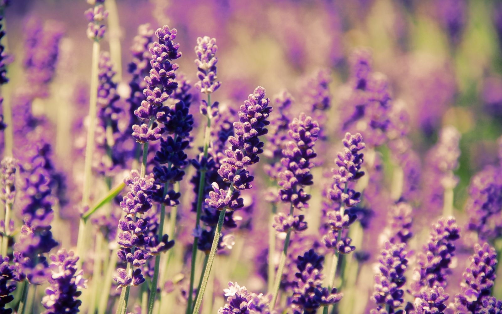 lavender flowers scientific classification