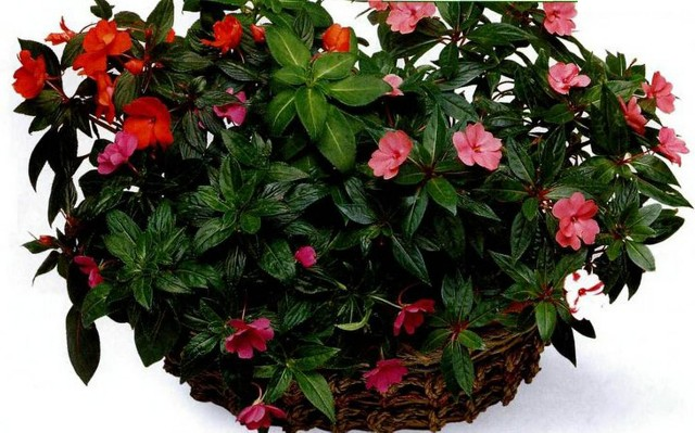 Как выглядит цветок мокрый ванька