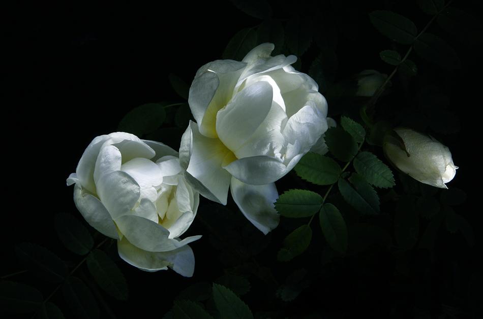 Ночные цветы и название 16