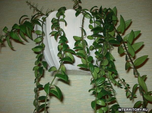 Названия картинки комнатных цветущих растений 8