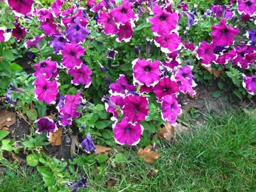 Однолетние цветущие цветы для дачи: фото и названия