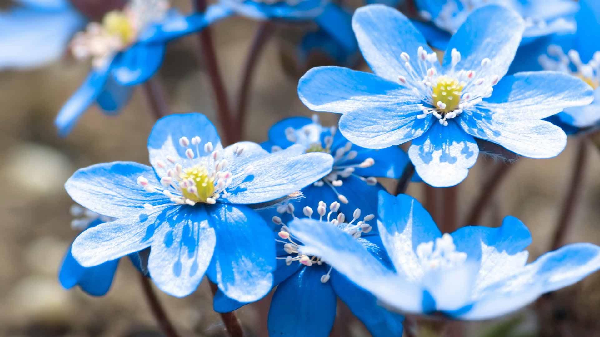 42 растения с синими цветками Дизайн участка (Огород. ru)