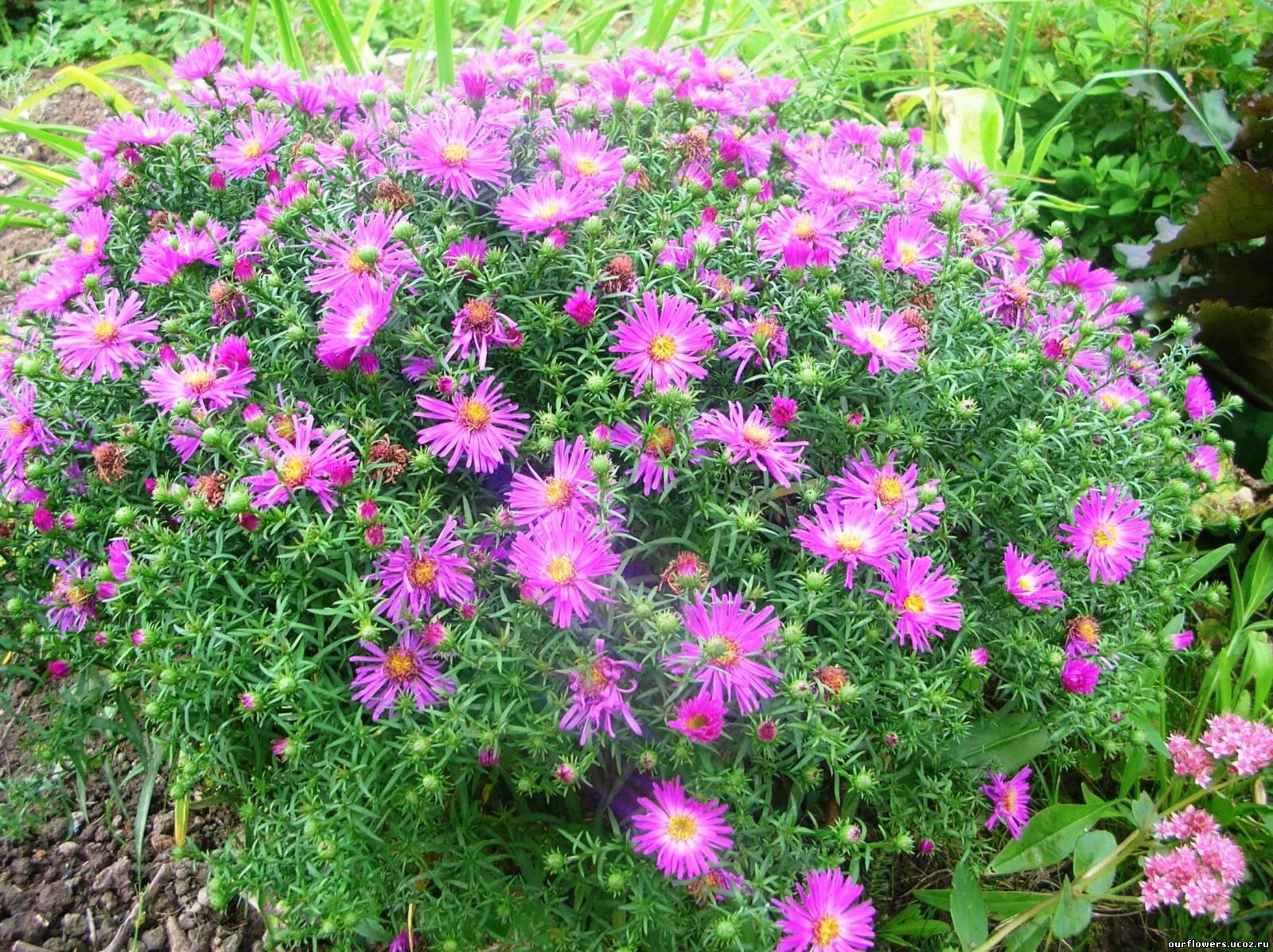 многолетние садовые цветы название и фото