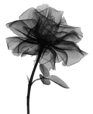 цветы картинки красивые черно белые