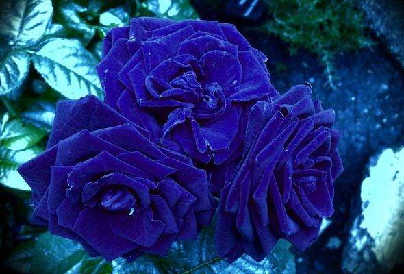 Розы красивые картинки на аву