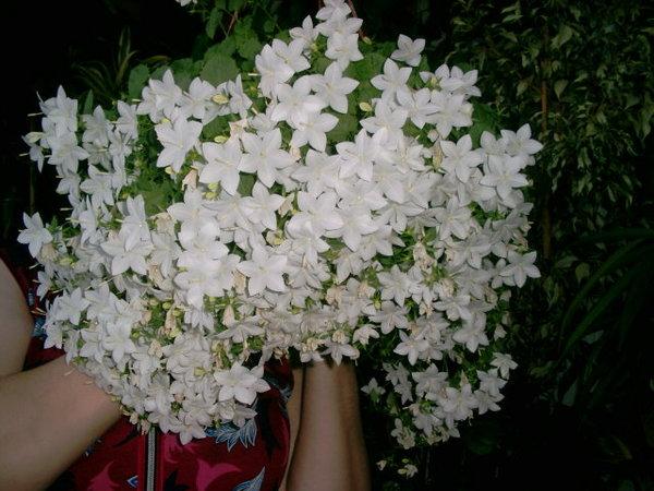 Невеста цветок комнатный видео