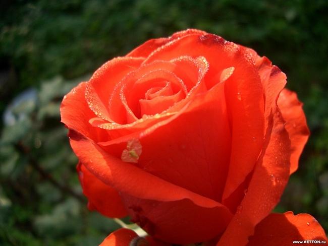 картинка цветы самой красивой девушке