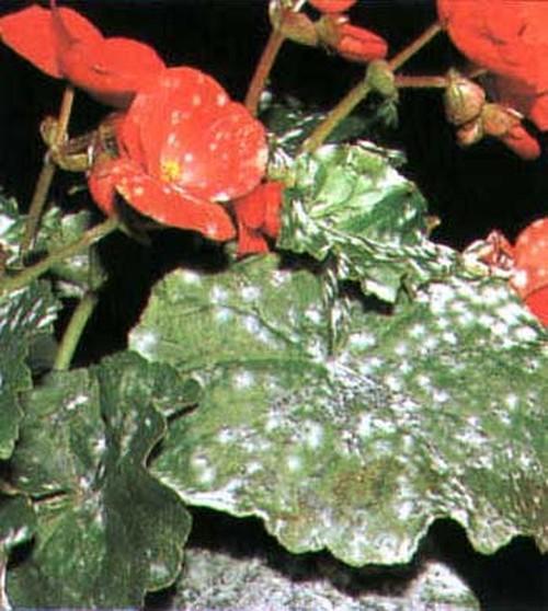 Вредители цветов