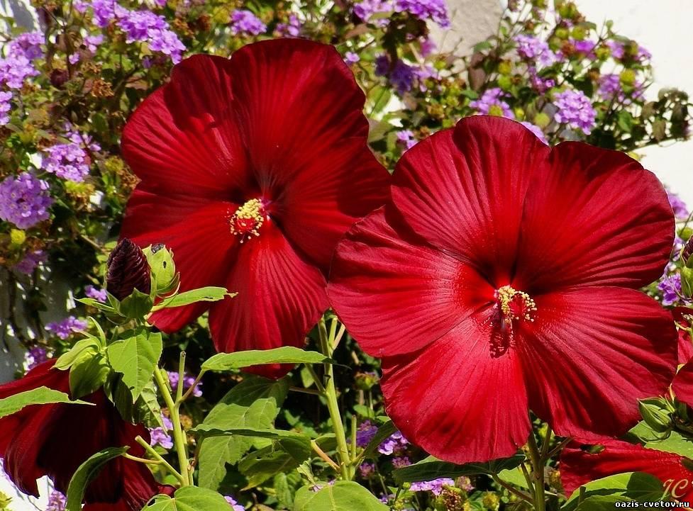 Большие цветы красивые