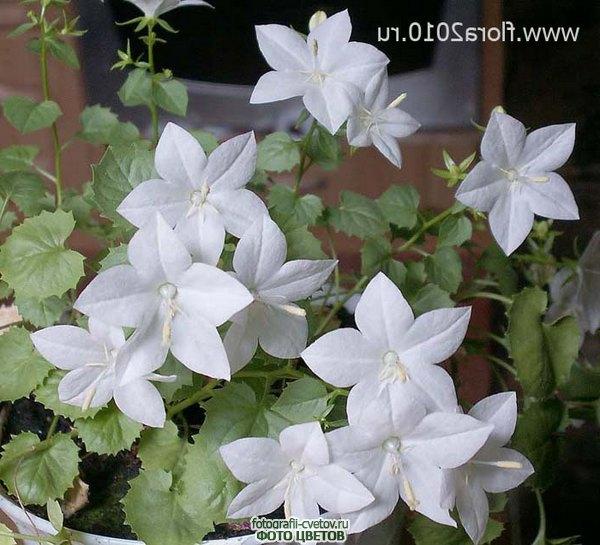 Комнатный цветок жених невеста 52