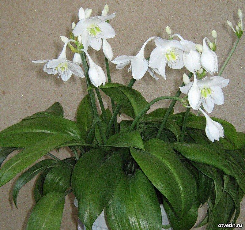 Каталог комнатный цветок 86