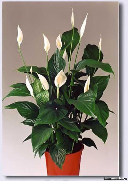 Комнатный цветок розочки 49