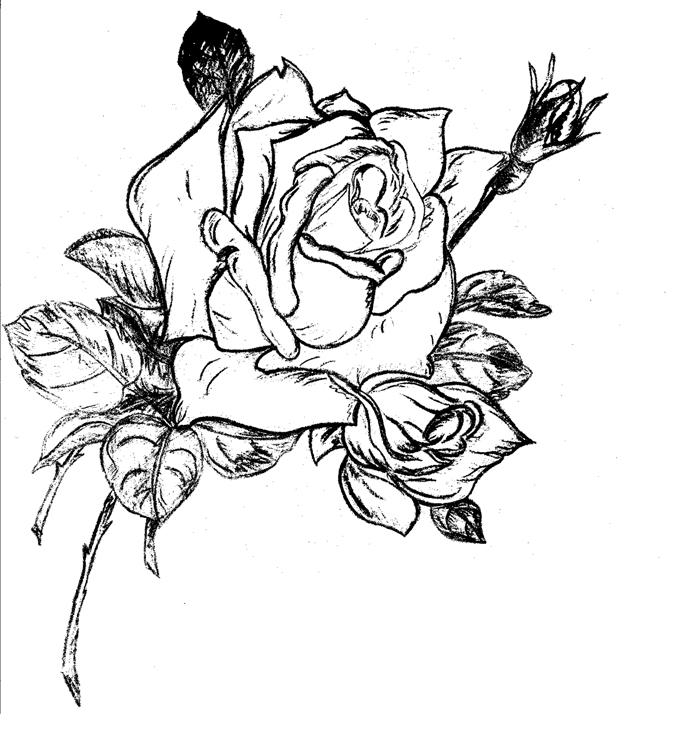 Белые розы рисунки