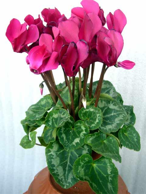 Домашний цветы