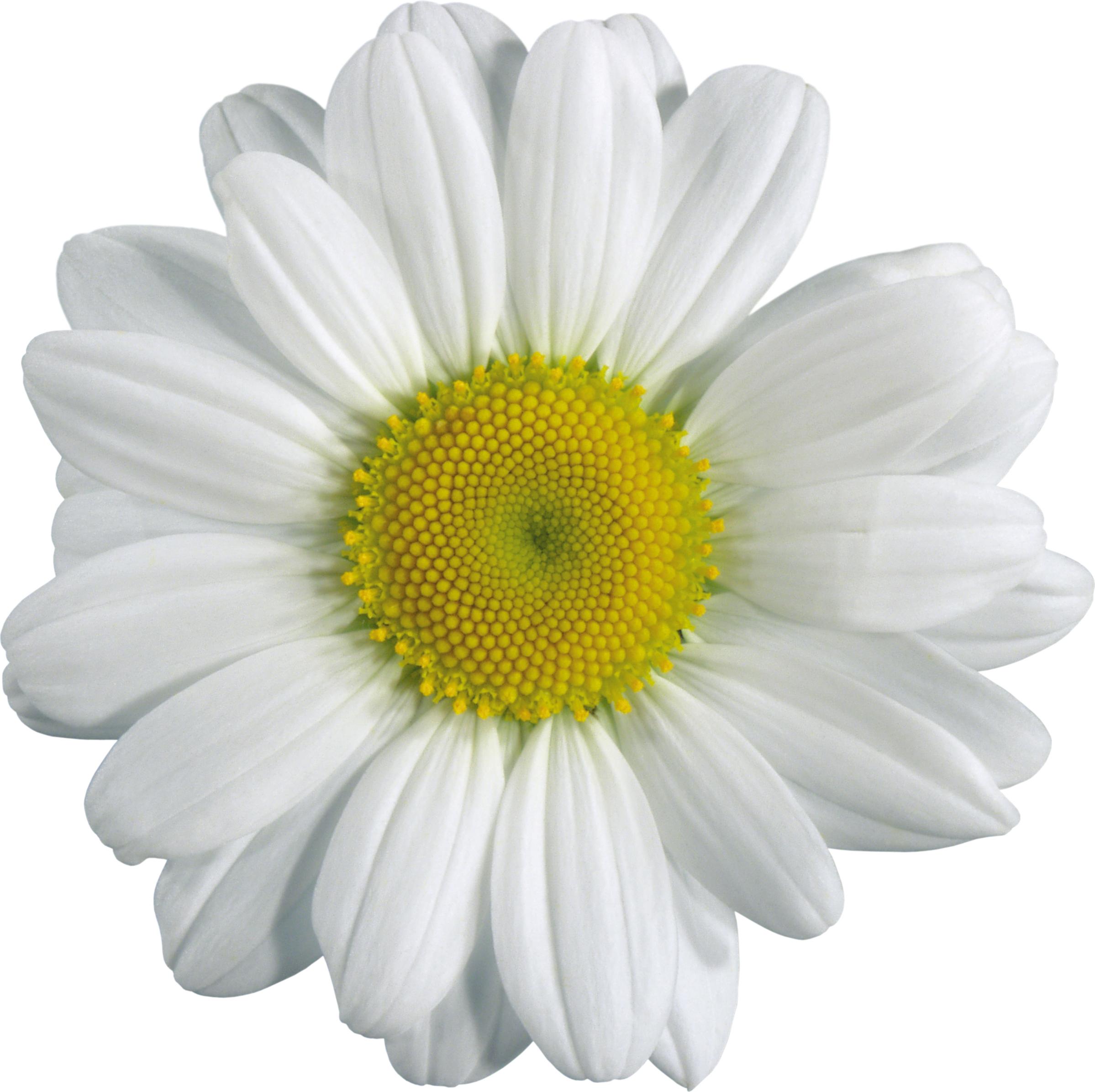 Картинки цветы ромашка для детей » DreemPics.com ...