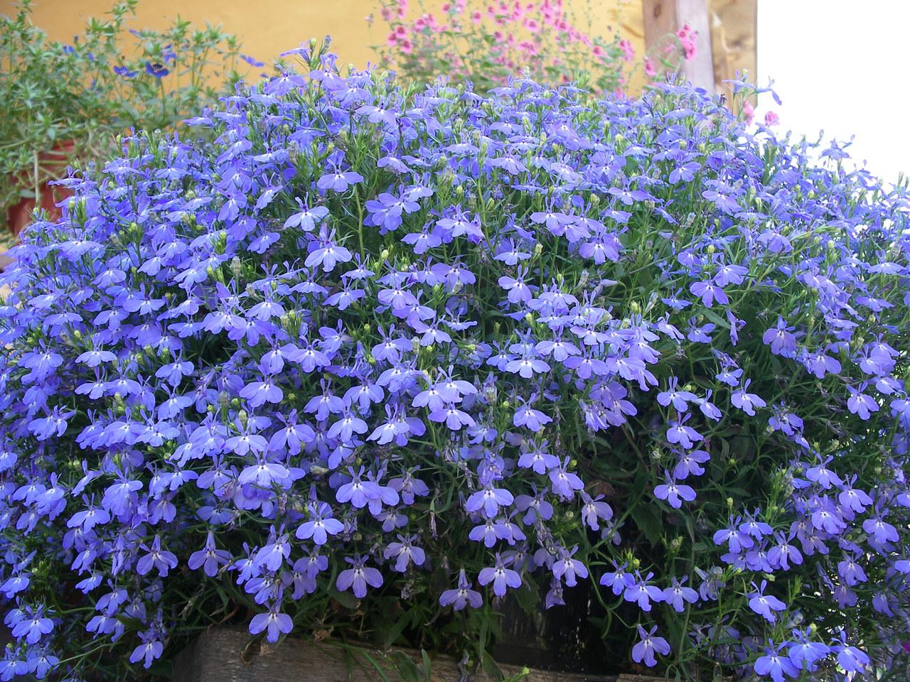 Многолетние цветы для дачи. Каталог цветов, фото с названиями и кратким