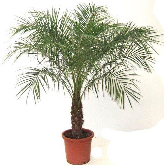 домашние пальмы  и название
